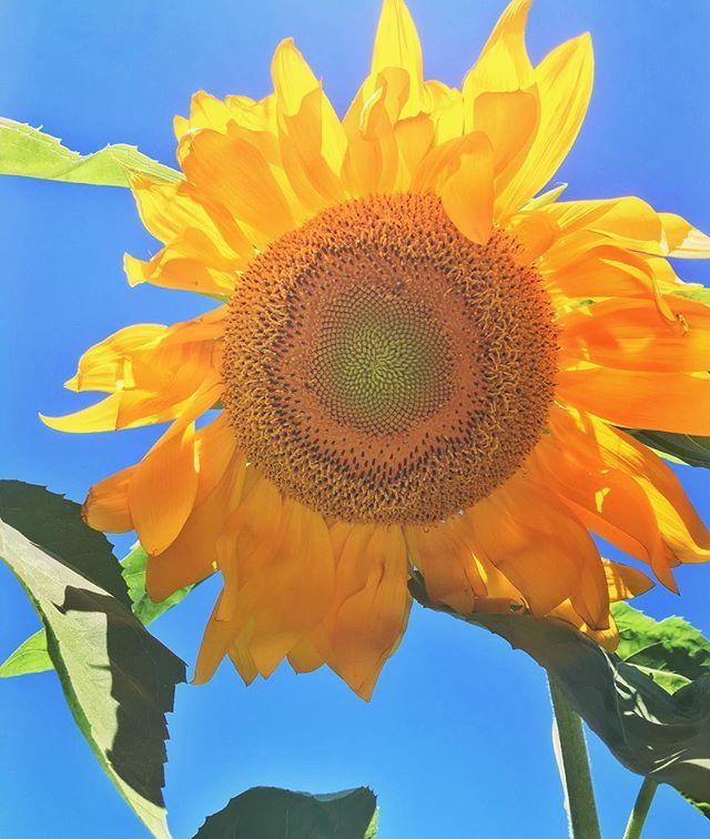Behold the #mammoth #sunflower #🌻#grewitmyselfie #sumerdayz #flowerpower #august #yellow #farmerwannabe #backyardgarden #freshfarm