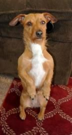Petango Com Meet Doxie A 3 Years Dachshund Standard Smooth Haired Mix Available For Adoption In Amarillo Tx Animal Planet Dachshund Pets