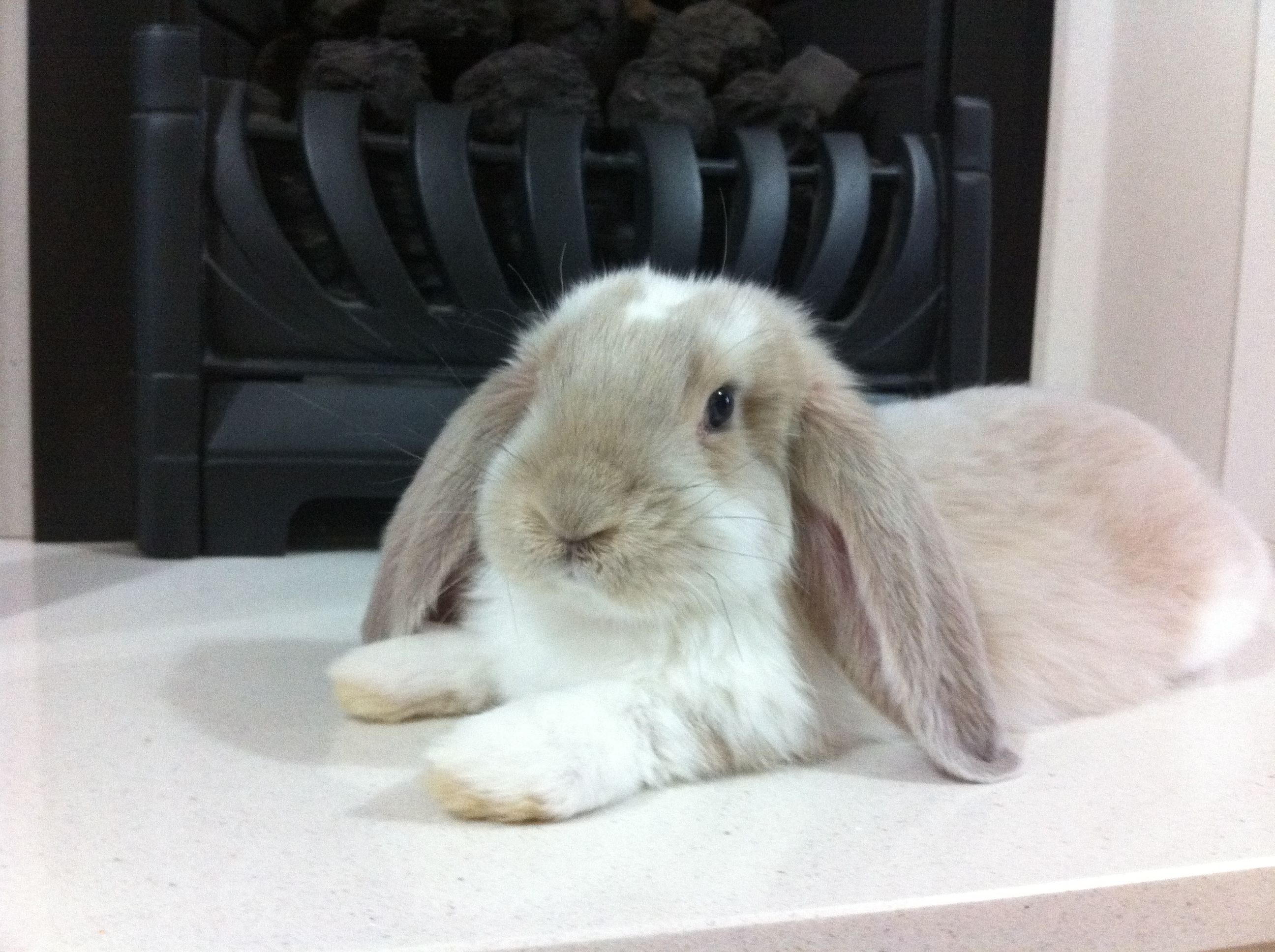 Giant French Lop Rabbits | FRENCH LOPS | CUTE // animals ...