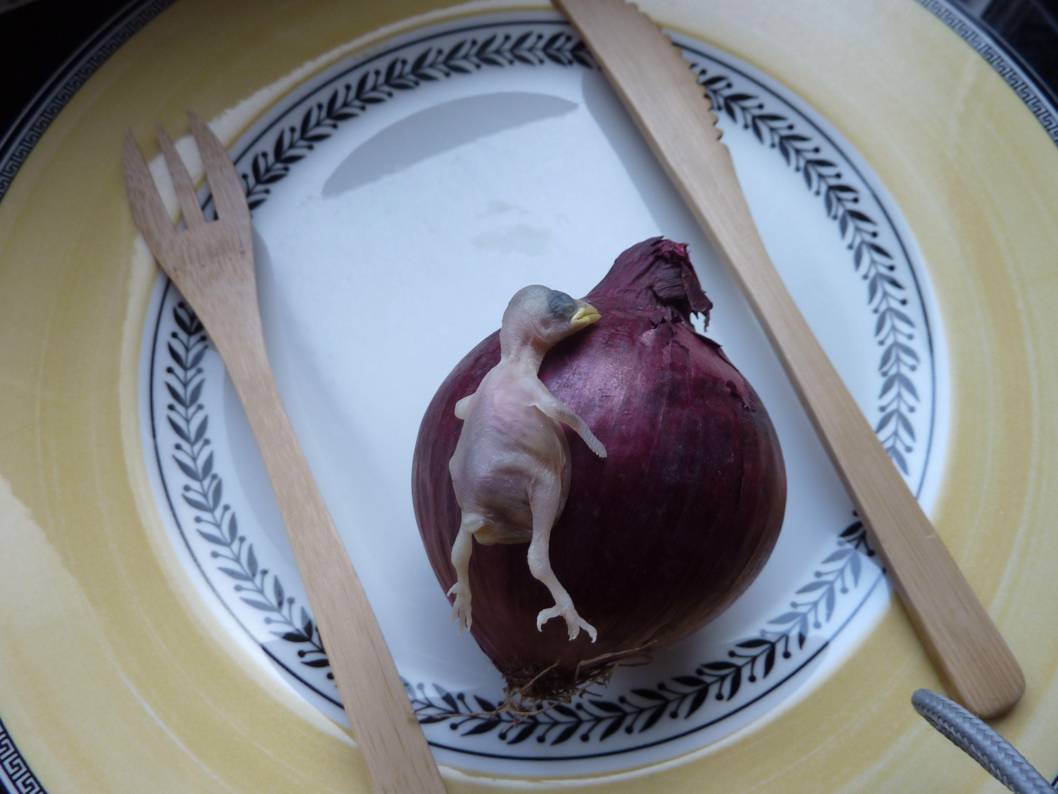 oisillon tombé du nid...poulet aux oignons. Photo personnelle