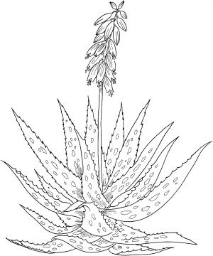Aloe Vera Drawing Tattoos Pinterest Coloring Pages