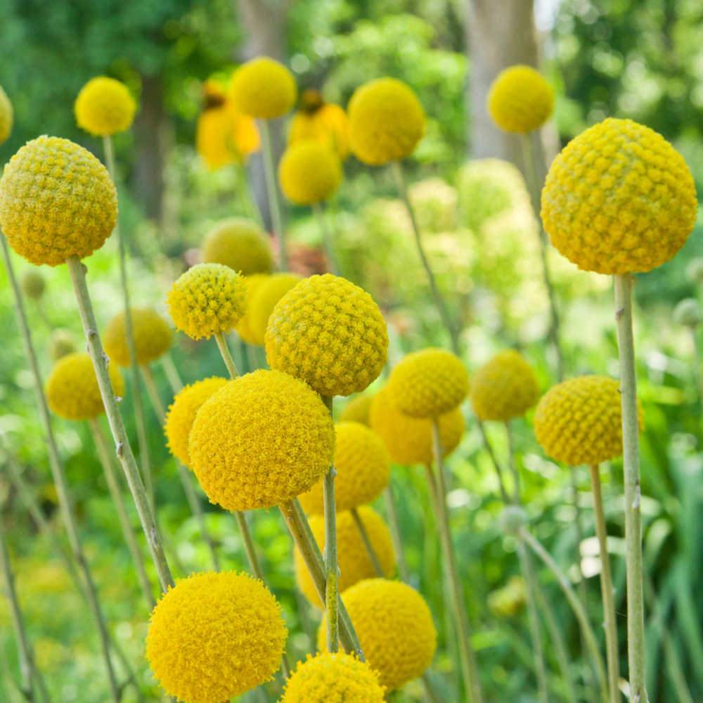 Craspedia Seeds Craspedia Globosa Billy Button Drumstick Flower Seed In 2020 Perennial Garden Design Flower Seeds Billy Buttons