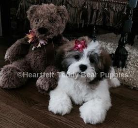 Heartfelt Teddy Bear Puppies Akron, OH 44240 Teddy