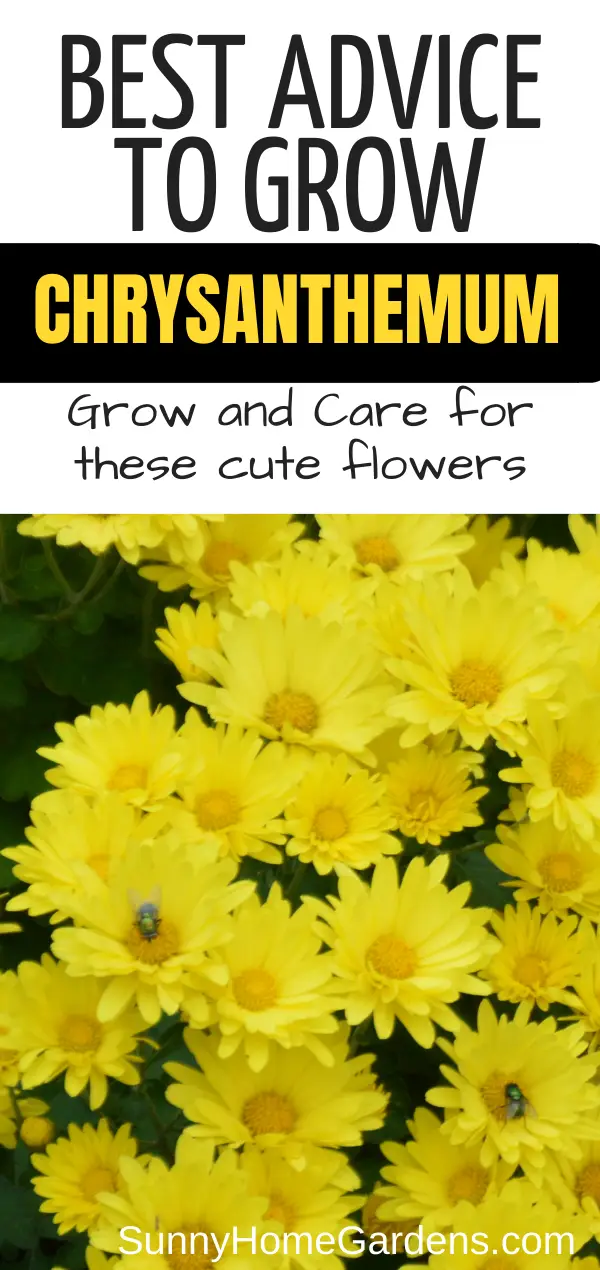 How To Grow And Care For Mums Chrysanthemums In 2020 Caring For Mums Chrysanthemum Growing Mums Flowers