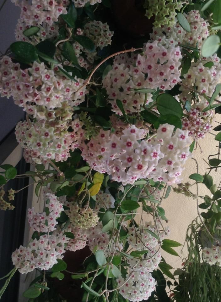 Hoya Carnosawax Plant When Blooming The Fragrance Is Very Strong