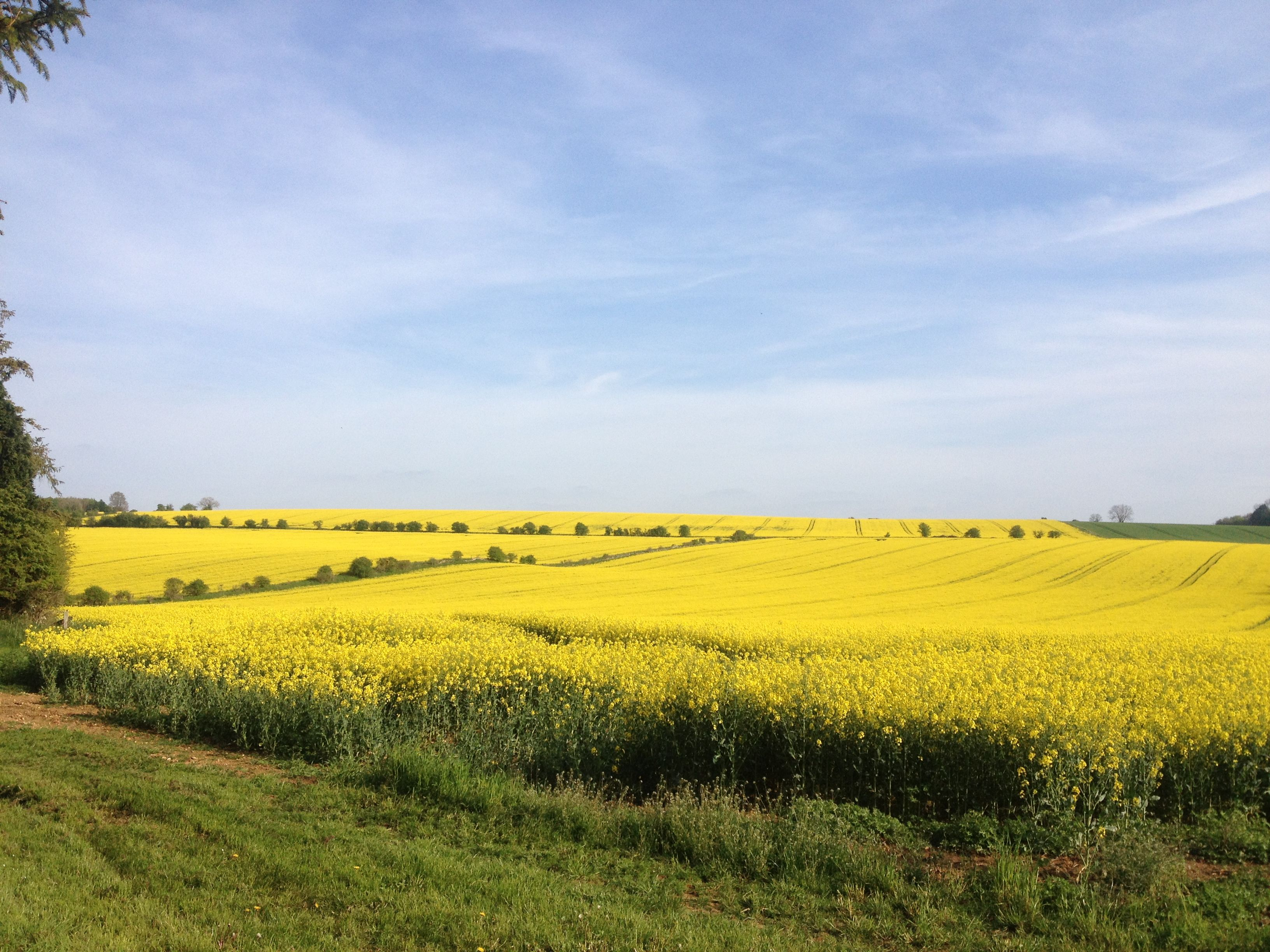 Rapeseed Flowers English Countryside Pinterest English Countryside