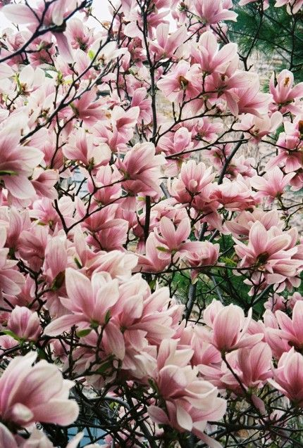 Magnolias Are In Bloom The Magnolia Tree Is Just Stunningly Beautiful With Big Flowers In Shades Of Pink W Magnolia Trees Flowering Trees Beautiful Flowers