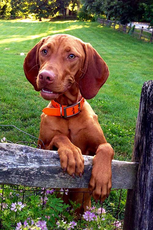 Vizsla Google Search Vizsla Vizsla Dogs Beautiful Dog Breeds