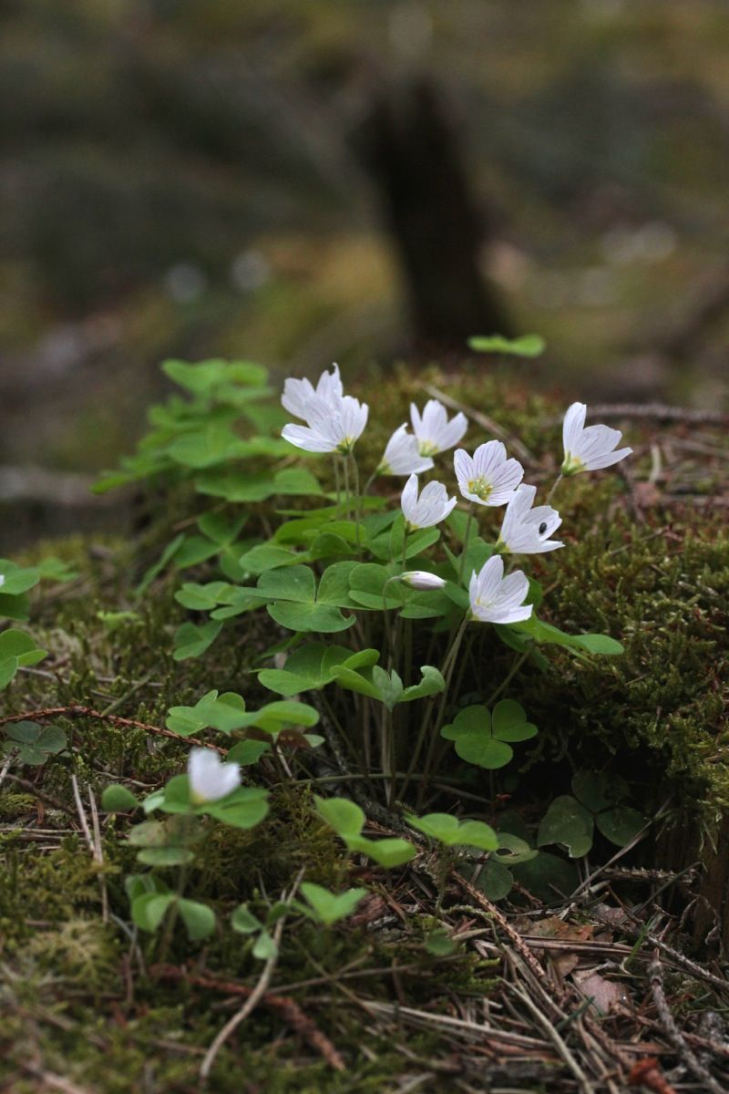 Pin di Julie Jarrett su Flowers Anemoni, Primavera