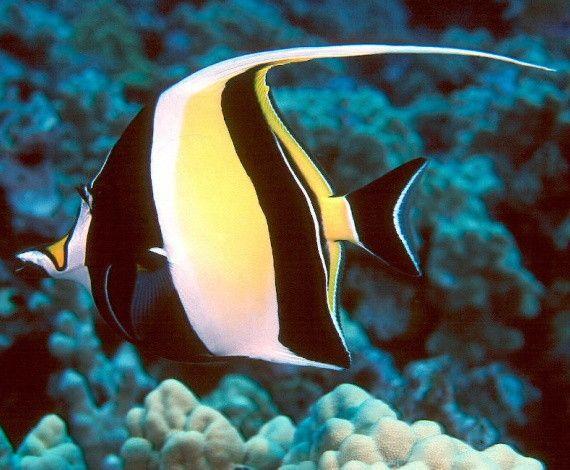 *MOORISH FISH