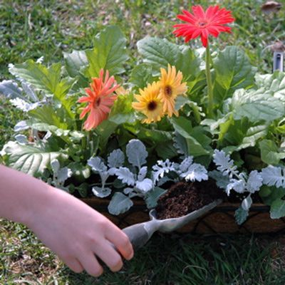 Easy Container Garden  Plant Gerber Daisies And Dusty Miller In ... Potting  SoilGarden ...