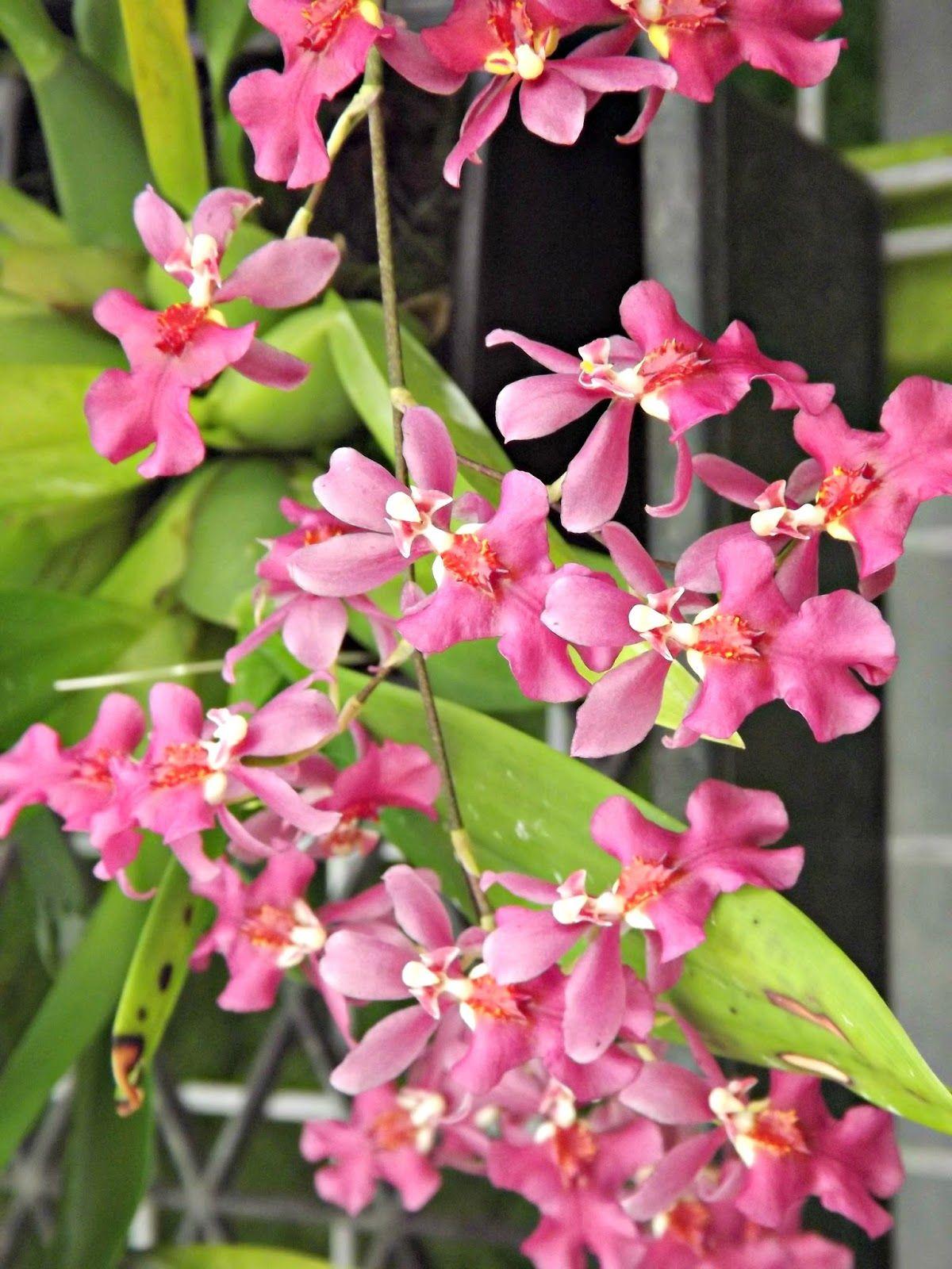 Onc twinkle pink profusion generous flowering habit and heavenly