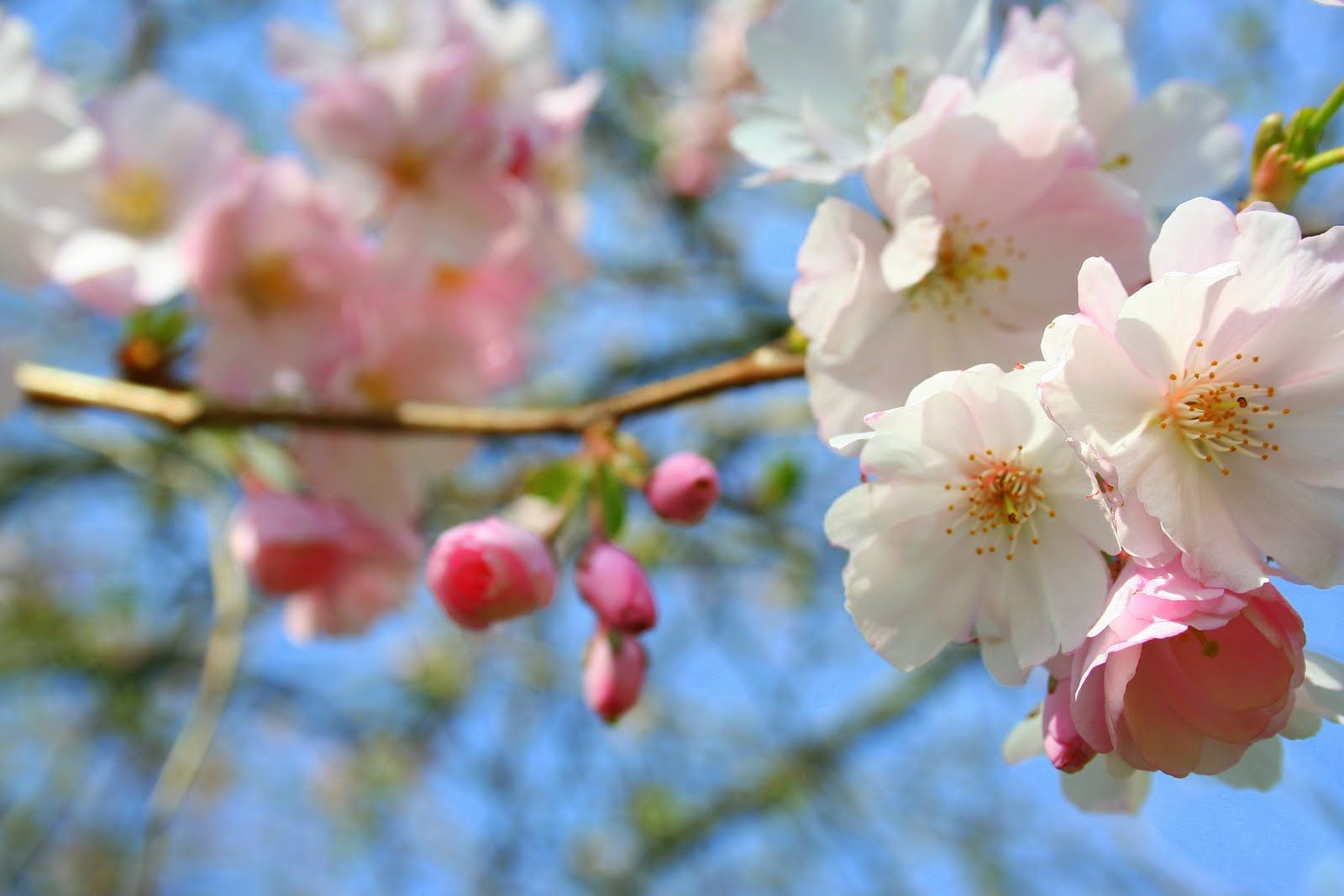 Spring Persian Basmati Rice Recipe Sour Cherry Rice Recipe Vegetarian Rice Recipe Saffron And Sour Cherries Ornamental Cherry Cherry Blooms Flowering Trees