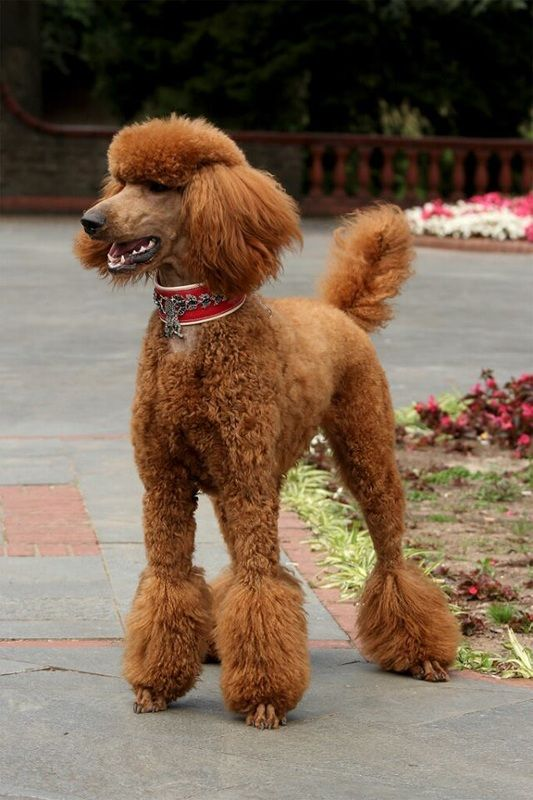 This Poodle Looks Just Like My Dad S Aunt S Poodle Babelle It