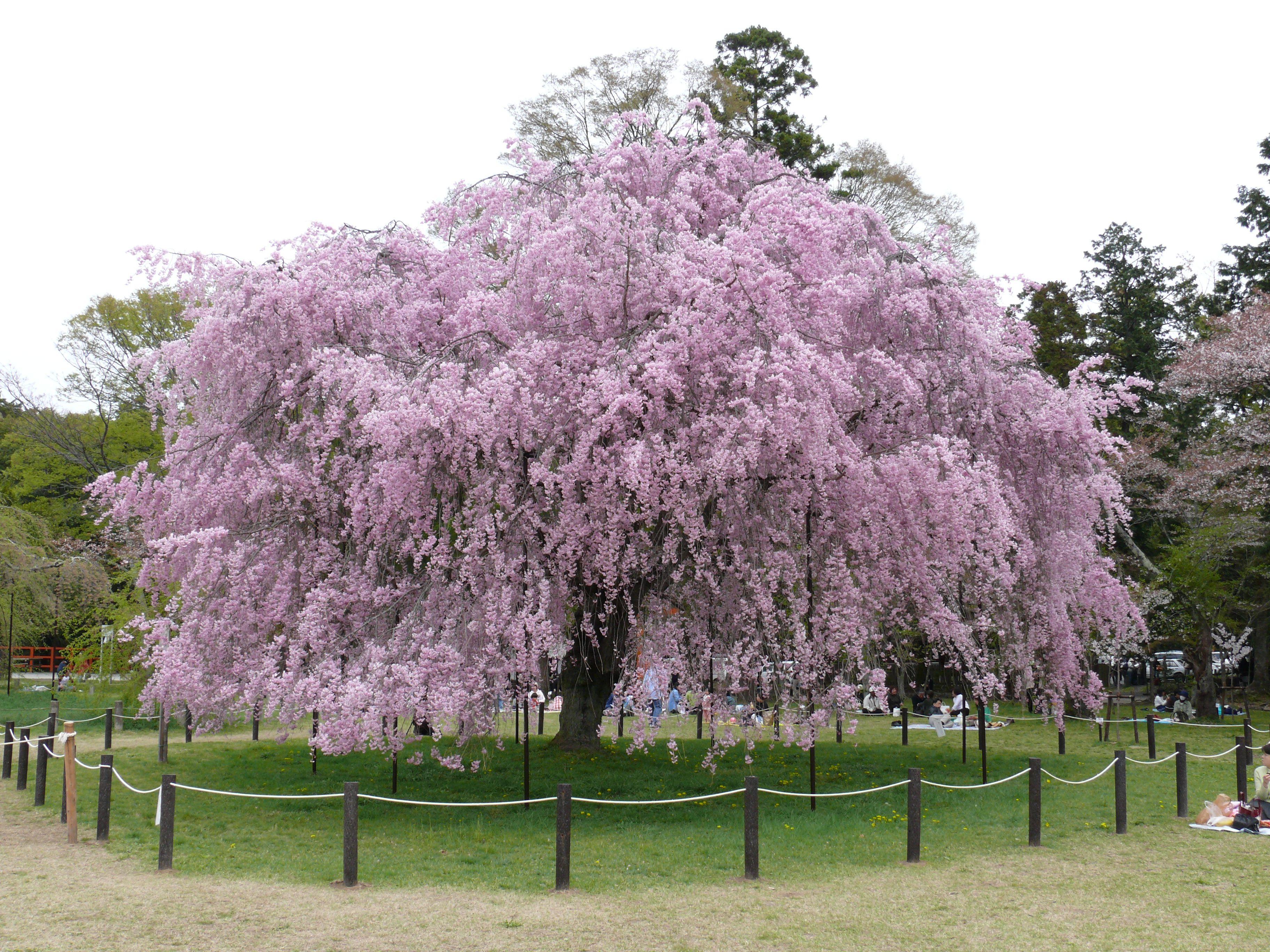 flowering ornamental weeping cherry tree trees. Black Bedroom Furniture Sets. Home Design Ideas