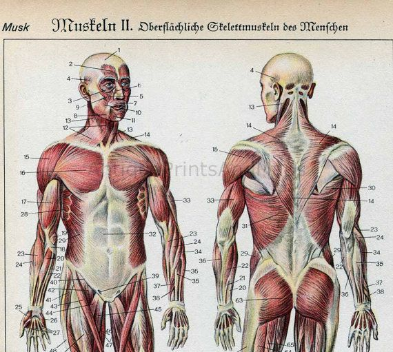 The Human Body Muscles Anatomy Medical Illustration Ap Help