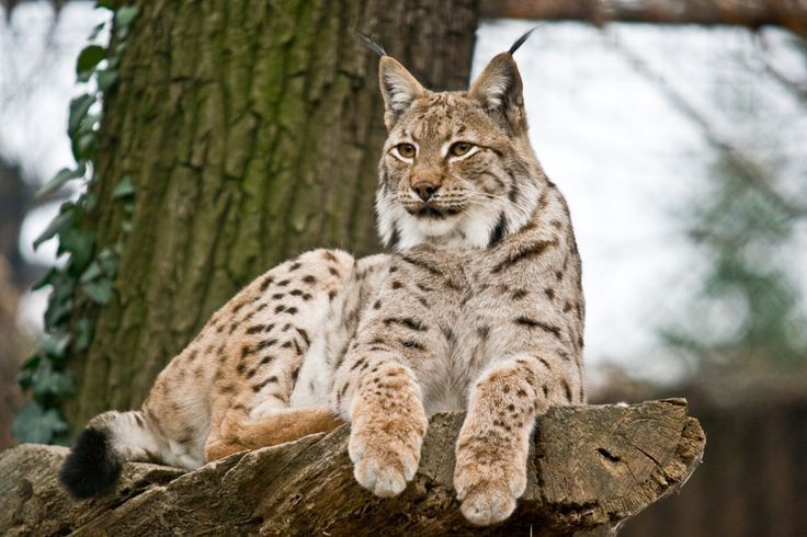 Carved Wooden Lynx In Winter Coat Google Search Cats Animals Lynx