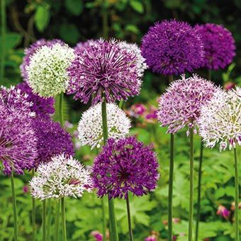 Allium Giant Mixed Allium Super Bag Perennial Bulbs Purple Flowering Plants Bulb Flowers