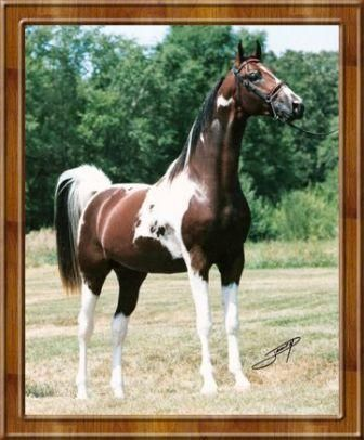 Offering for sale the American Saddlebred Pinto stallion , Spotacular Fame. Description from forums.arabianbreeders.net. I searched for this on bing.com/images