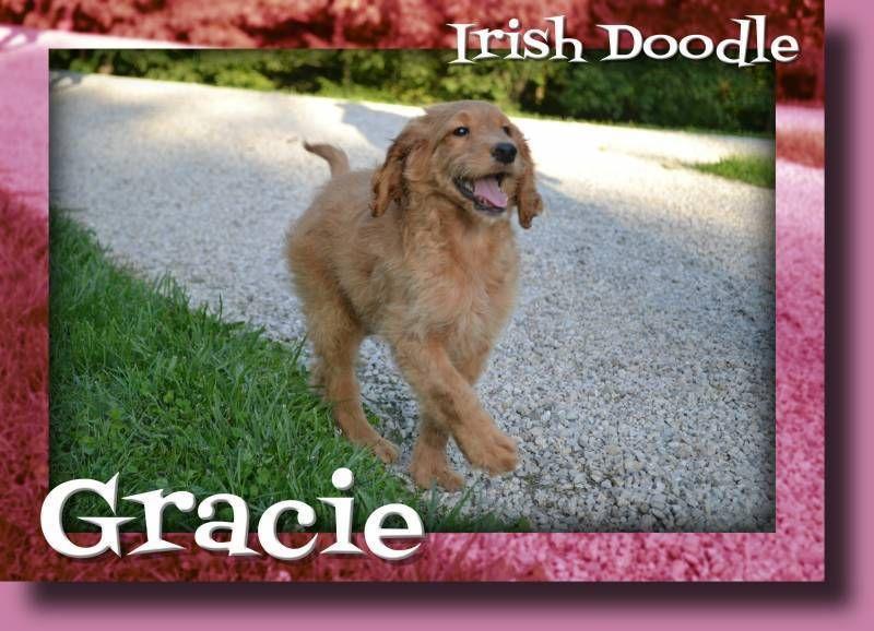 Gracie Female Irish Doodle 300 Irish doodle, Poodle mix