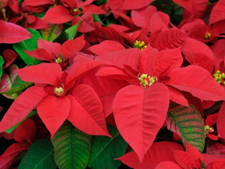 How Often Do You Water Poinsettias And Other Poinsettia Plant Care Tips In 2020 Poinsettia Plant Poinsettia Care Christmas Plants