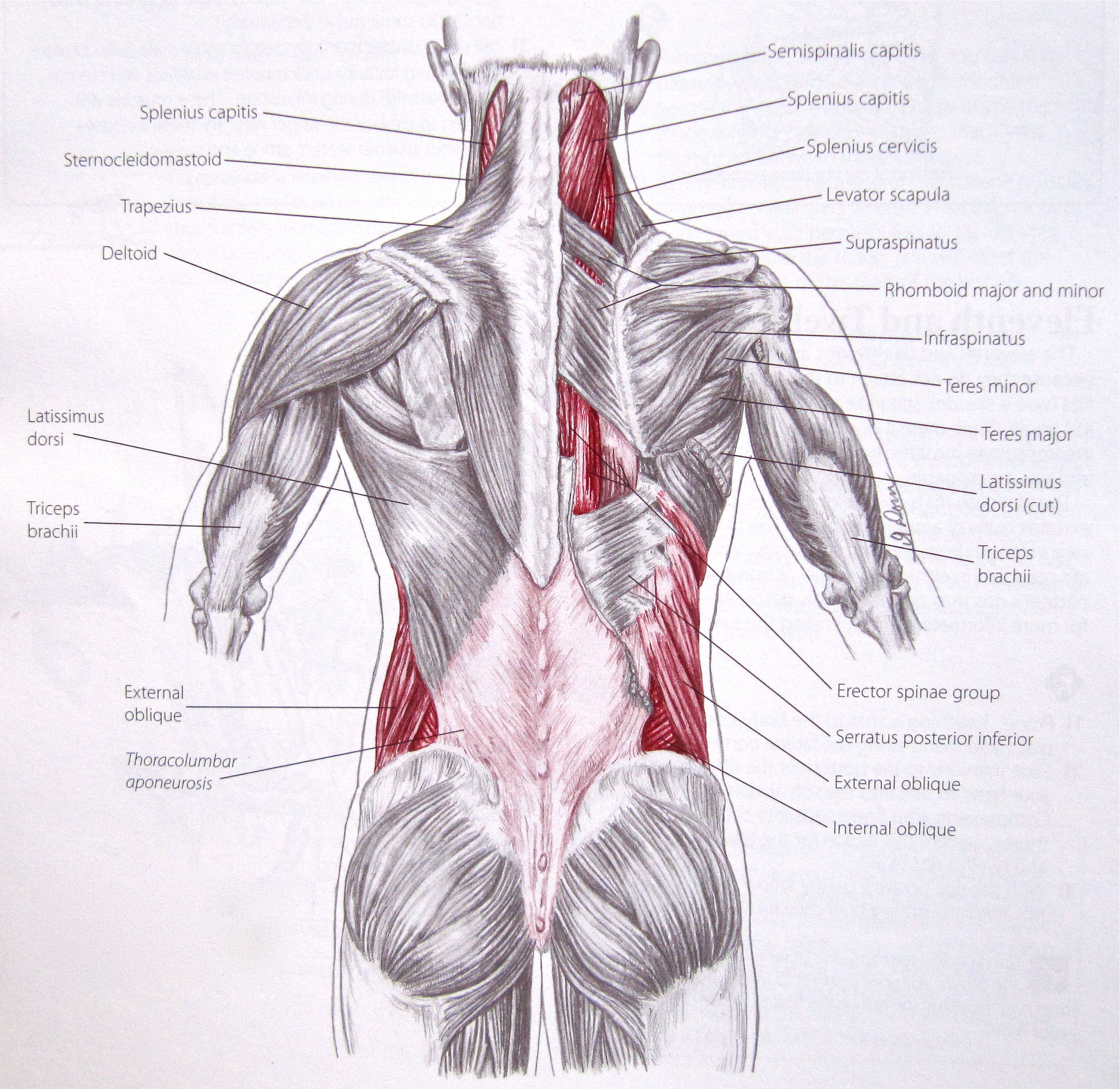 What are the best #lat exercises? | STRENGTH TRAINING | Pinterest ...