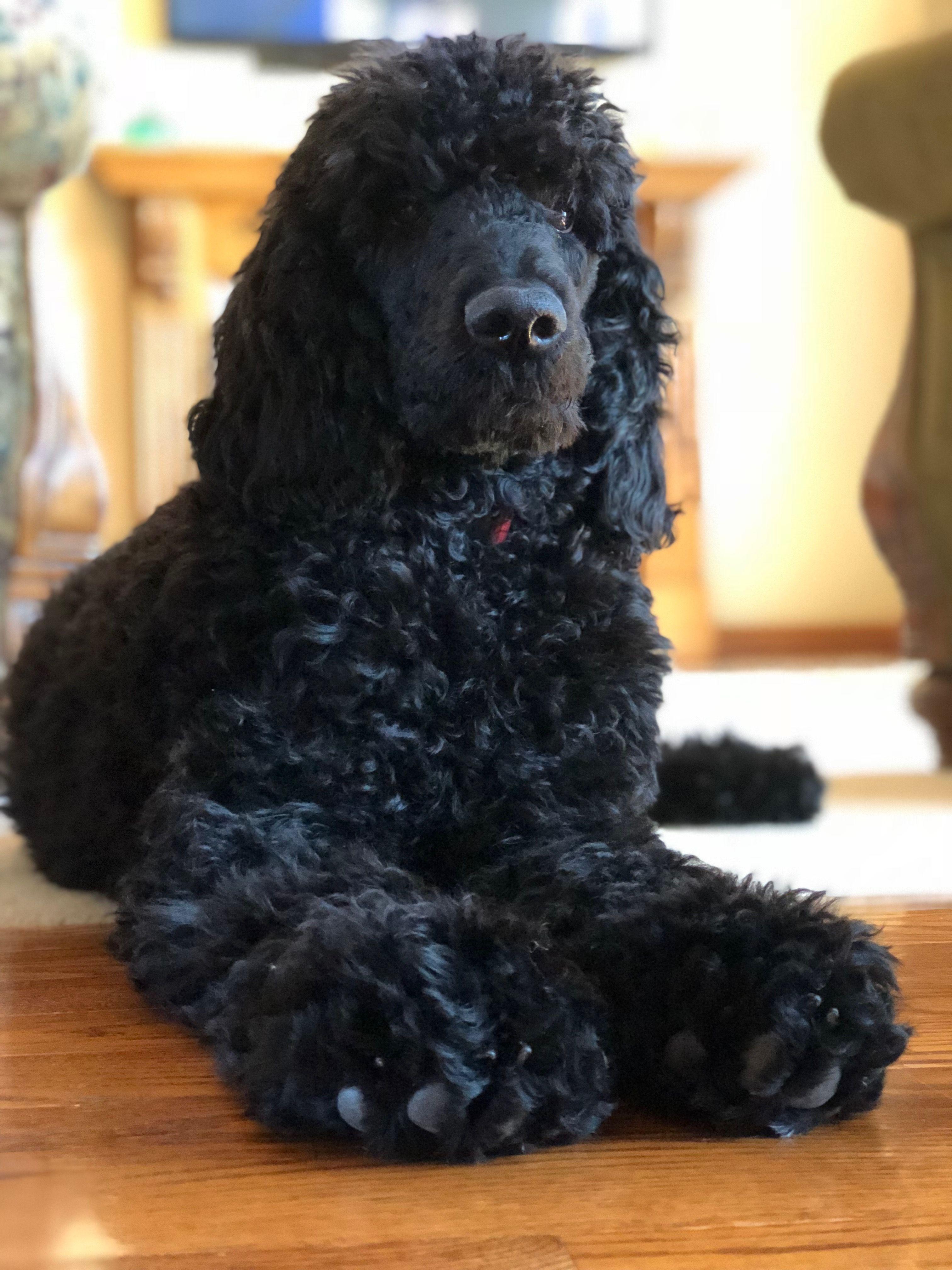 Black Standard Poodle Black Standard Poodle Standard Poodle Poodle Hair