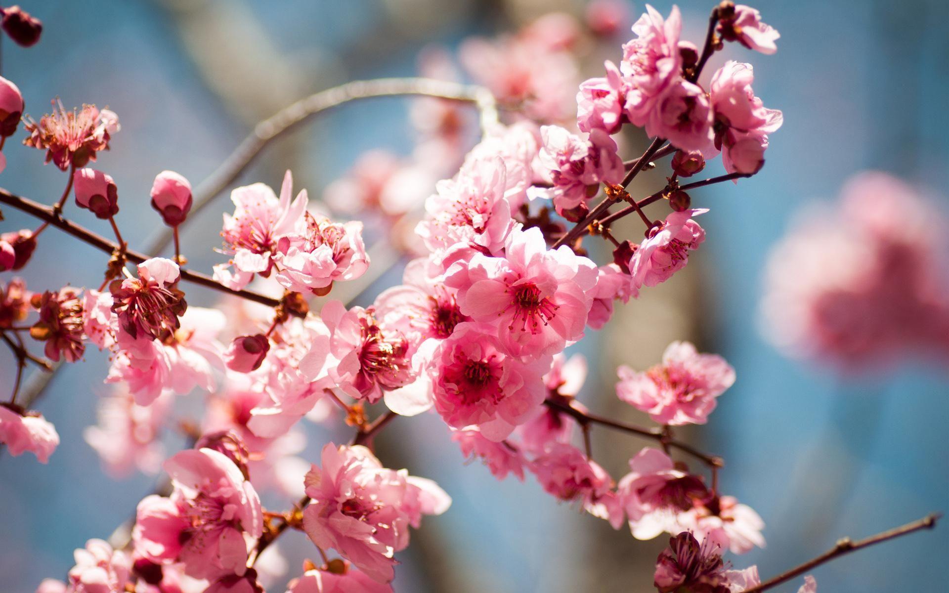 HD Bloom Spring Tree Flowers Blossoms HD 1080p Wallpaper | Gardens ...
