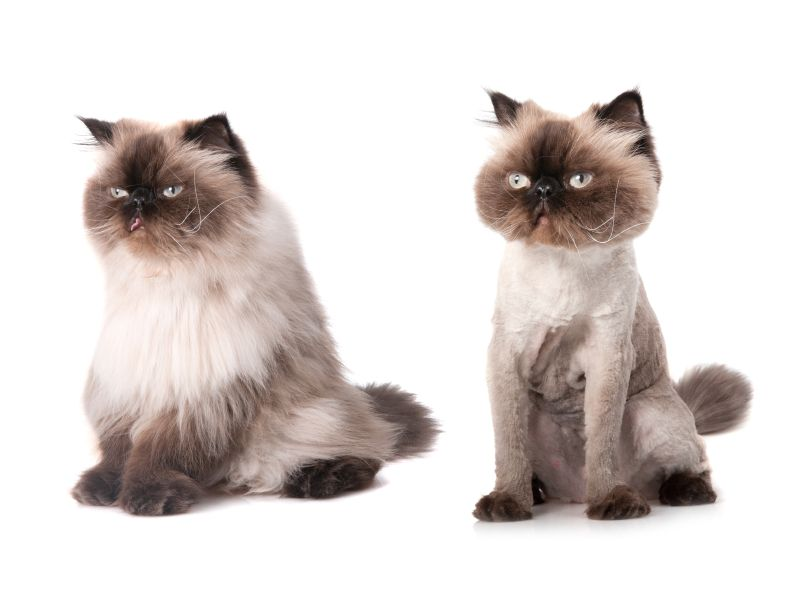 Grooming and bathing persian cats