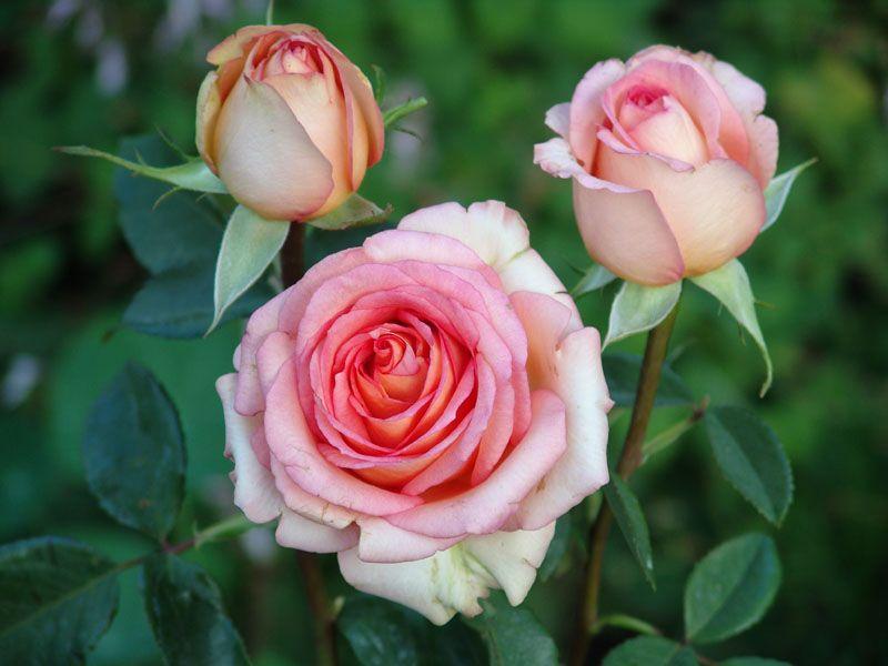 Stuttaford rose