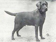 Ch Sandylands Tweed Of Blaircourt Retriever Labrador Retriever