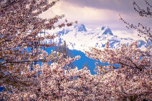 Cherry Blossoms With The Mysterious Mountain Peaks The Lions In Vancouver Dream Escapes Vancouver Cherry Blossom Mountains