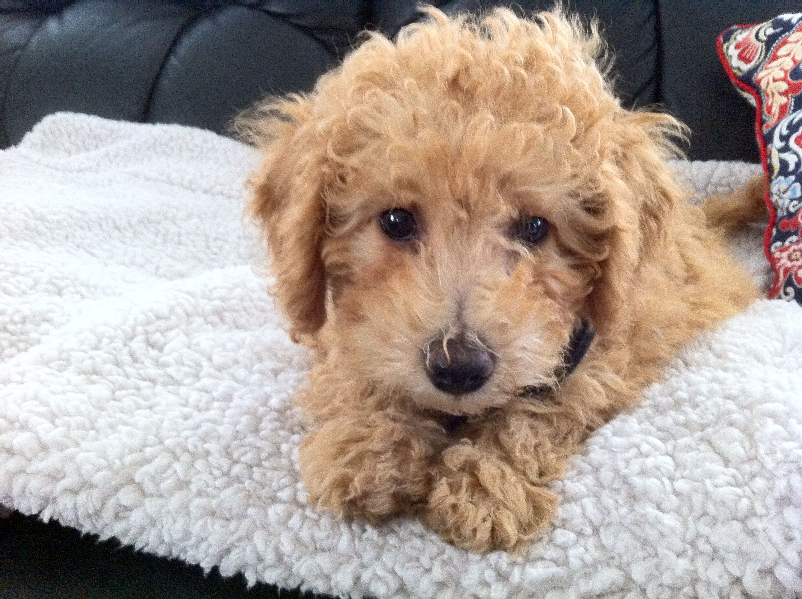 Copper My Rescued 10 Week Old Male Apricot Bichpoo What A Wonderful Dog Poochon Puppies Puppies Bichon