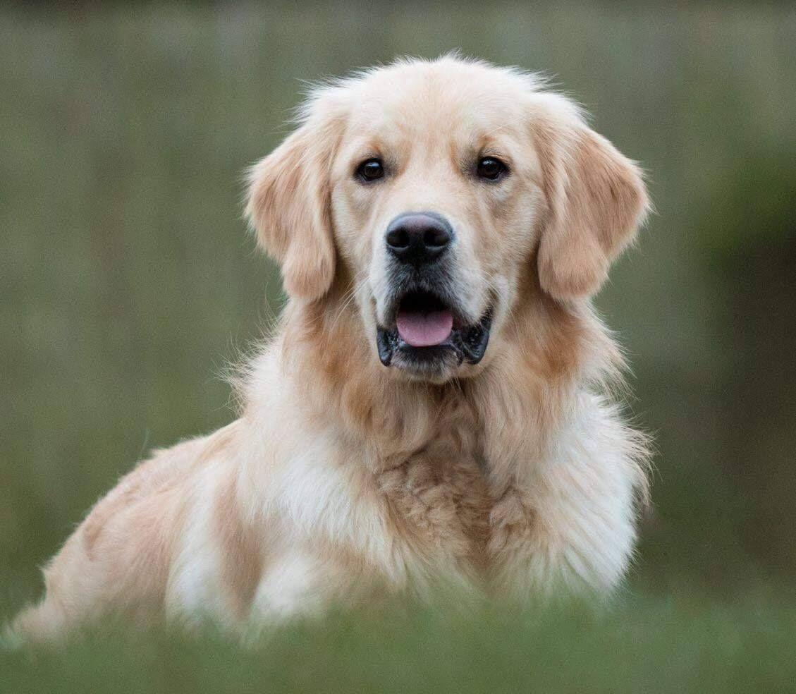 Pin By Janine Henrizi On Golden Retrievers Dogs Dogs Golden
