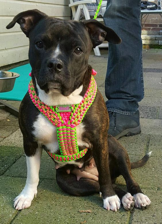 5 Ways To Love Your Dog With Paracord Dog Harness Diy Dog