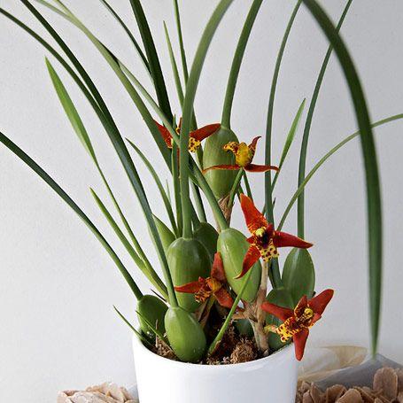Sonnencreme orchidee zimmerpflanzen orchideen pinterest sonnencreme zimmerpflanzen und - Dekorative zimmerpflanzen ...