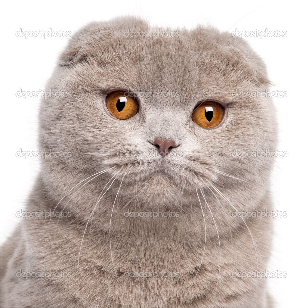 depositphotos_10901839-Close-up-of-Scottish-Fold-cat-9-and-a-half-months-old-in-front-of-white-background.jpg 1,007×1,023 pixels