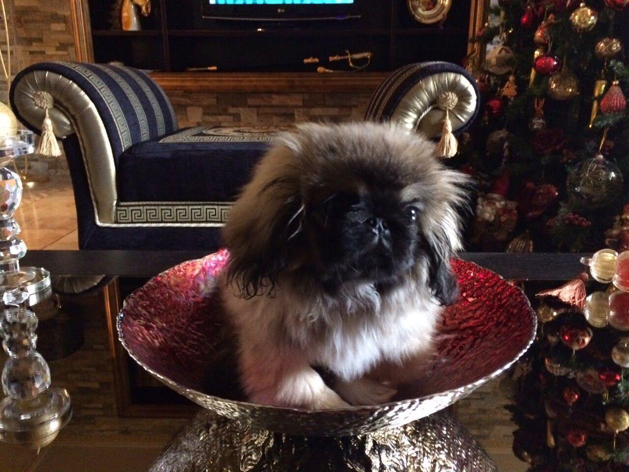 Pin by Vicki on I cagnolini Pekingese, Pekingese dogs