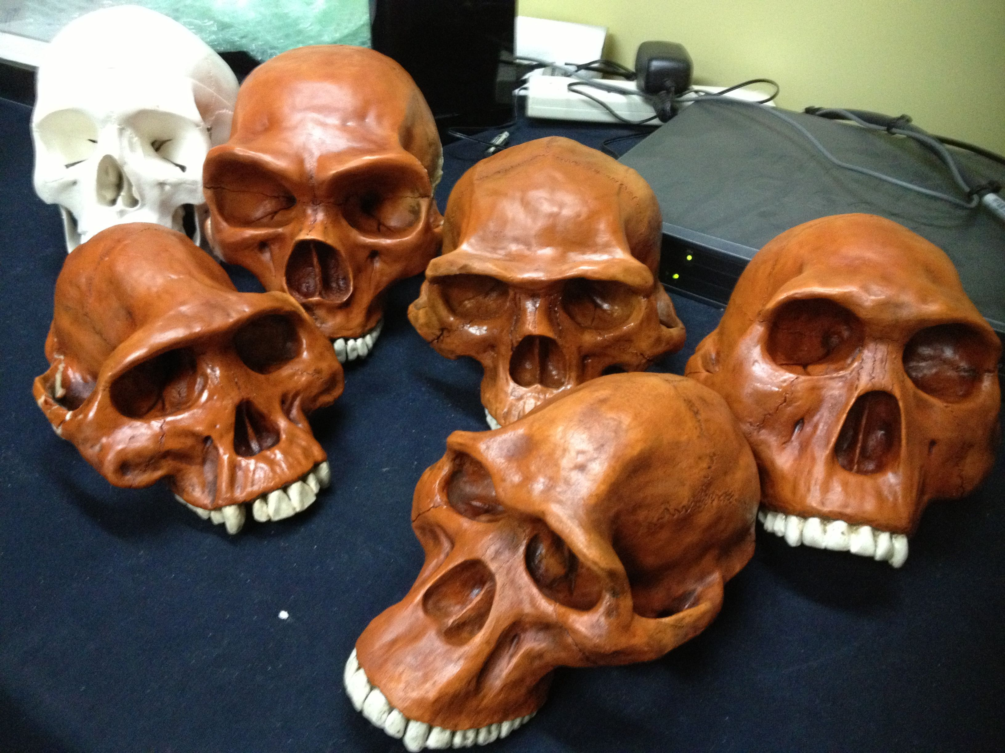 Early Hominid Skulls Teaching Human Pre History Via Video
