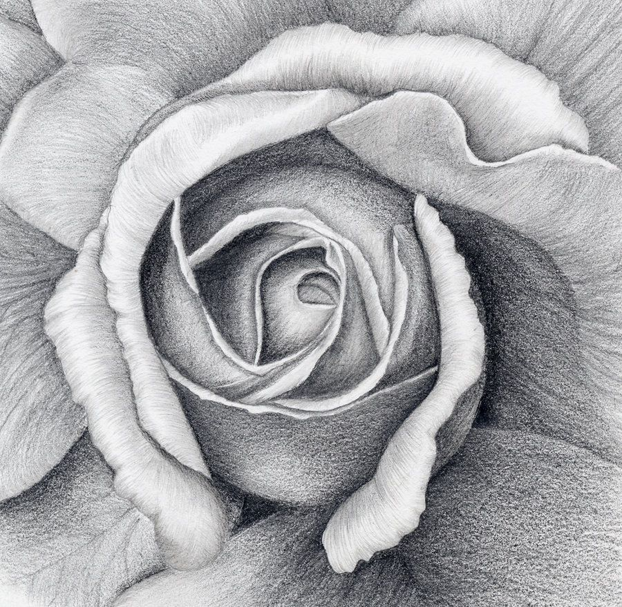 "A pencil drawing from a beautiful rose, size 7"" x 7 ..."