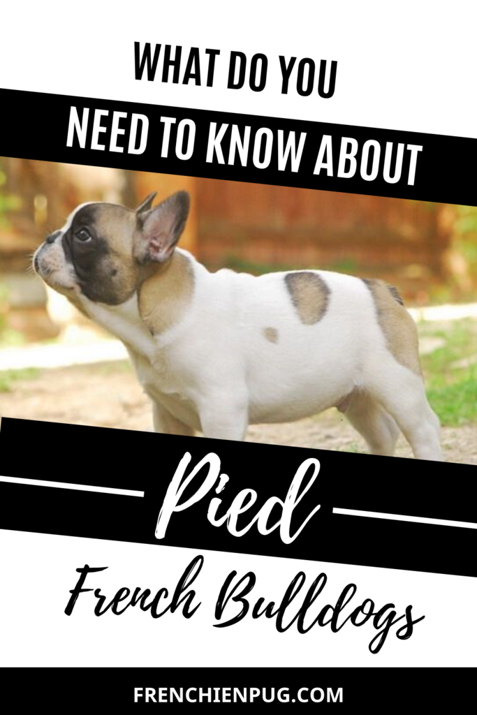 What Do You Need To Know About Pied French Bulldogs