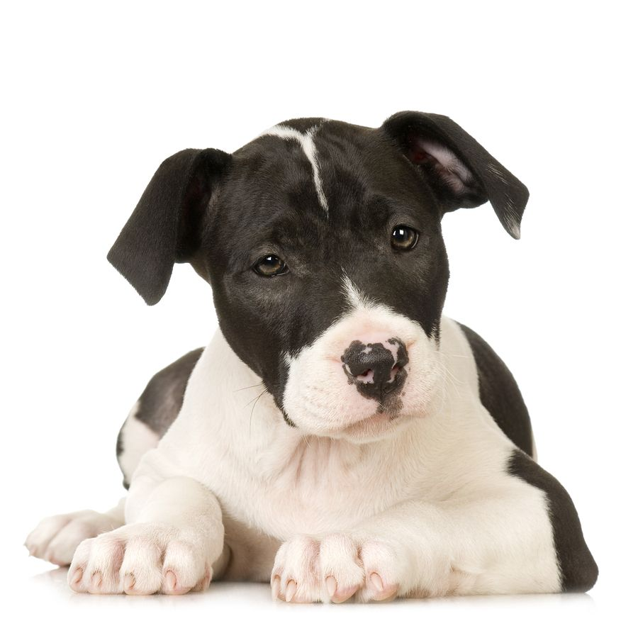 American Staffordshire Terrier Having Grown Up With This Breed