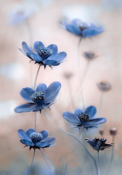 Sapphire1707 Cosmos Blues By Mandydisher Via Botanical