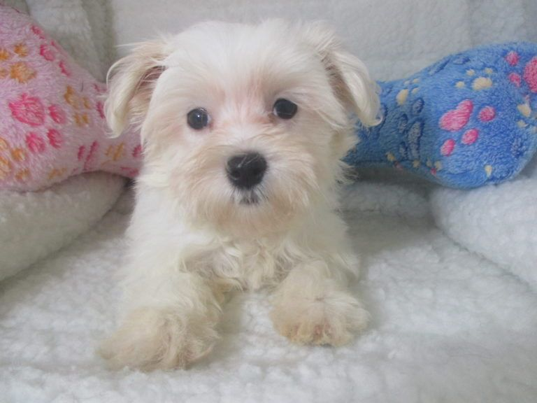 Maltese Puppies Puppies For Sale At Breeders Club Maltese
