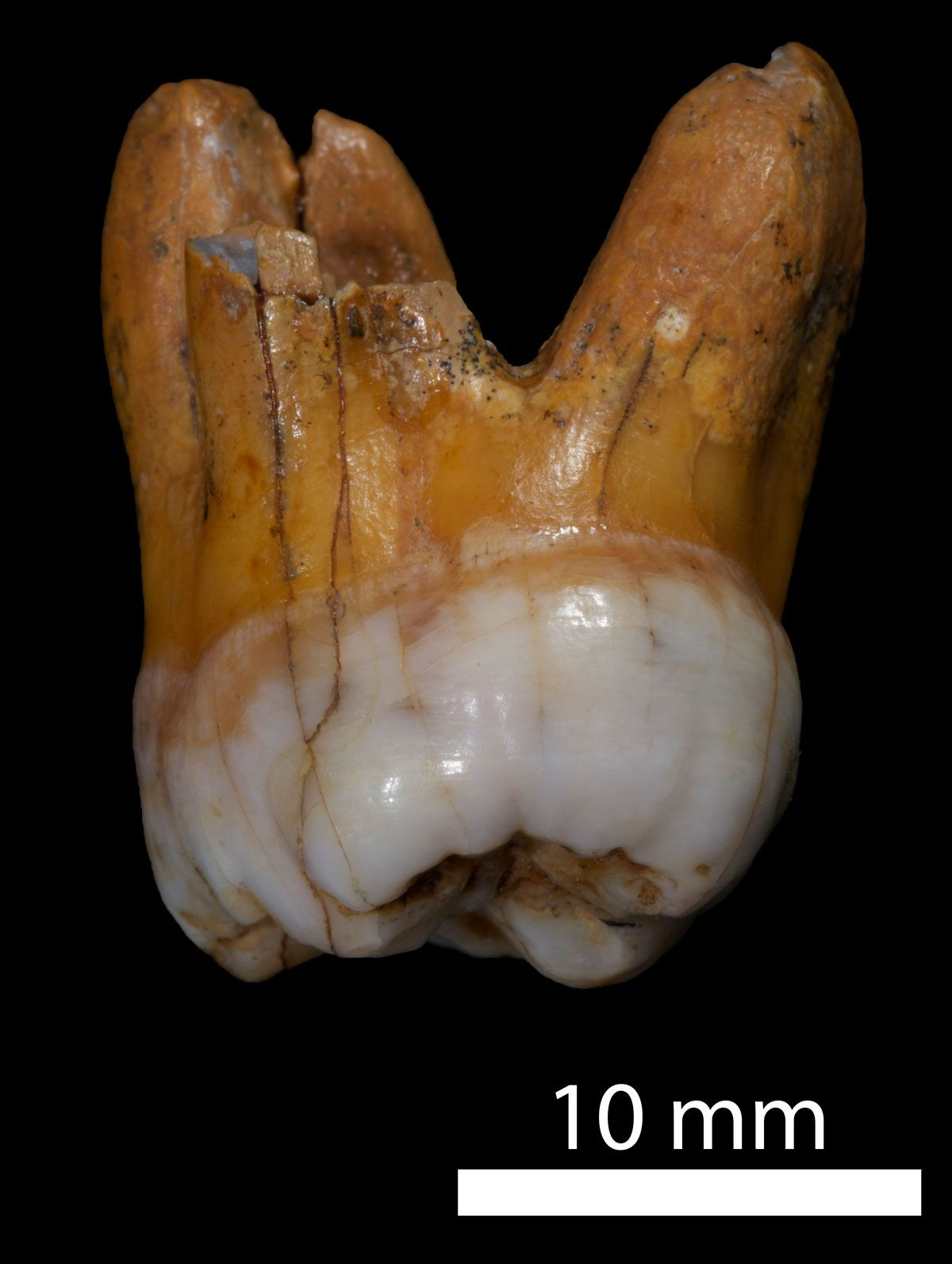DNA analysis of Denisovan molars offers more clues about