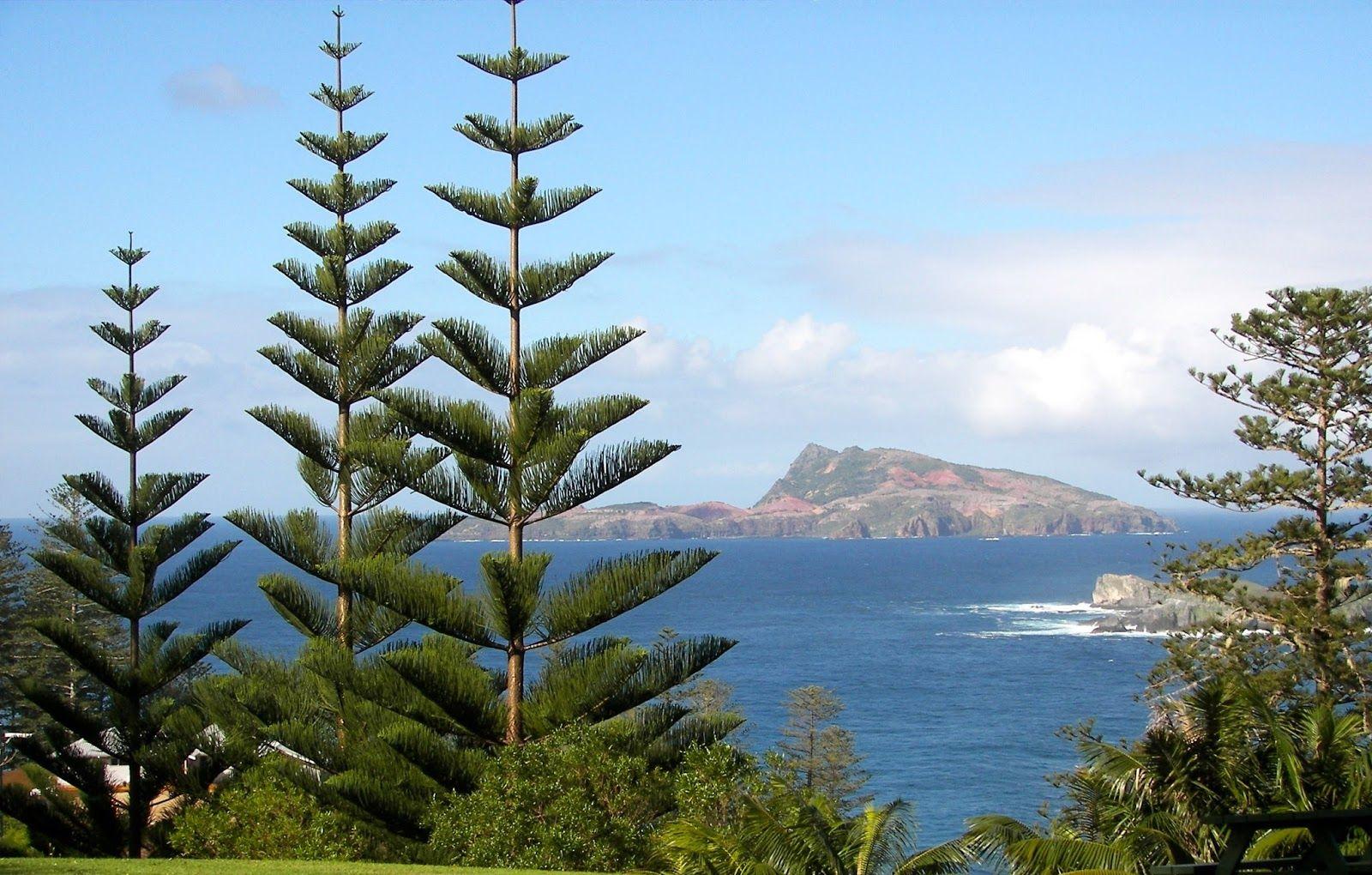 Norfolk Island Pines Araucaria Heterophylla Norfolk Pine