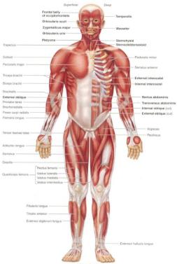 Otot : Penjelasan, Hubungan, Sistem, Saraf, Http://www.gurupendidikan.com/penjelasan-hubungan-sistem-otot-dan-saraf/, Otot,, Manusia