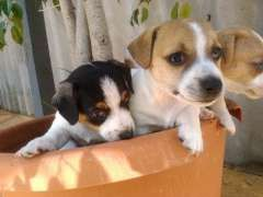 Jack Russell Pups Jack Russell Terrier Puppies For Sale Manning