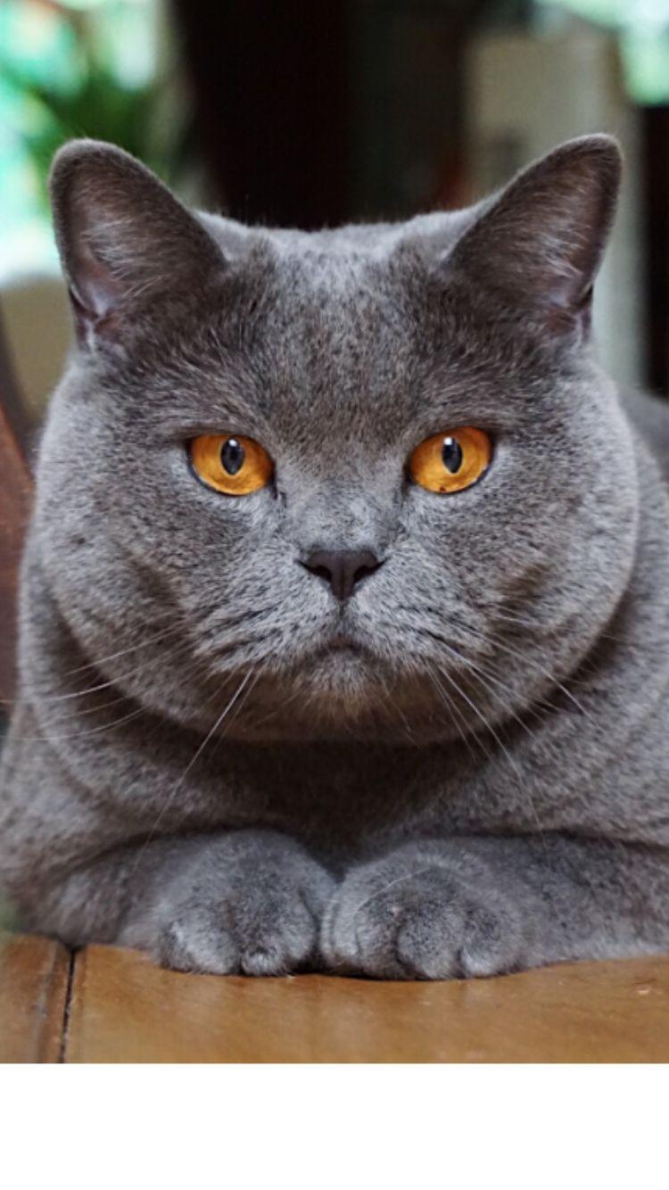 Blue Grey British Shorthair British Blue Cat Cute Cats Russian Blue Cat