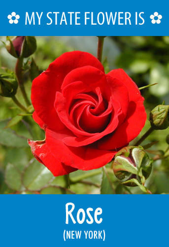 NewYork's state flower is the Rose. What's your state